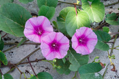 Ipomoea pes-caprae Sweet. stock photo