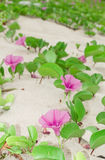 Ipomoea pes-caprae Sweet. royalty free stock photography