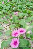 Ipomoea pes-caprae Sweet. Ipomoea pes-caprae Sweet .( Ipomoea pes-caprae (L.) R.Br stock photography