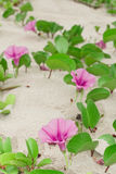 Ipomoea pes-caprae Sweet. Ipomoea pes-caprae Sweet,( Ipomoea pes- (L.) R.Br.) growing on the sand stock photography
