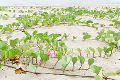 Ipomoea pes-caprae Sweet. Ipomoea pes-caprae Sweet, ( Ipomoea pes-caprae (L.) R.Br.) growing on the sand stock photography