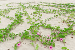 Ipomoea pes-caprae Sweet. Ipomoea pes-caprae Sweet, ( Ipomoea pes-caprae (L.) R.Br.) growing on the sand royalty free stock photography