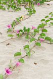 Ipomoea pes-caprae Sweet. Ipomoea pes-caprae Sweet ,( Ipomoea pes-caprae (L.) R.Br.) growing on the sand stock images
