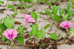 Ipomoea pes-caprae Sweet. ( Ipomoea pes-caprae (L.) R.Br.) growing on the sand royalty free stock photography