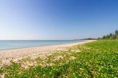 Ipomoea pes-caprae. On white sand beach stock photo