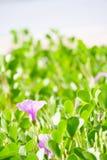Ipomoea Pes-caprae on white sandy beach. Of Thailand Royalty Free Stock Image