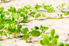 Ipomoea Pes-caprae on white sandy beach. Of Thailand royalty free stock image