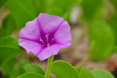 Ipomoea pescaprae beautiful and useful Royalty Free Stock Photos