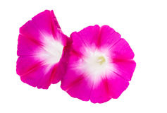 Ipomoea pink flowers Royalty Free Stock Photography