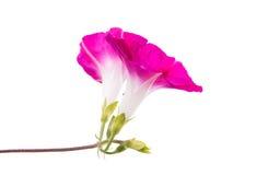 Ipomoea pink flowers Stock Photos