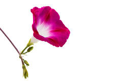 Ipomoea pink flowers Stock Images
