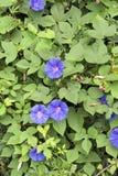 Ipomoea purpurea Zdjęcie Royalty Free