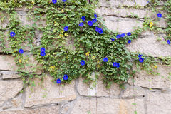Ipomoea purpurea. Morning Glory on a granite wall Stock Photos