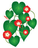 Ipomoea red star flower Stock Photography