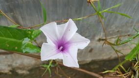 Ipomoea Reptana Poir. Swamp cabbge, Swamp cabbage white stem, Water morning glory, Ipomoea aquatica Forsk. Star shape purple white wild flowers with natural royalty free stock images