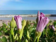 Ipomoea. Sea view pink Stock Photos