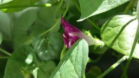 Ipomoea tricolor Imagen de archivo