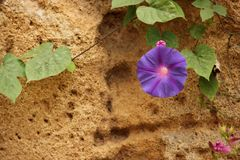 Ipomoea. The violet blossom of an Ipomoea blooming in a garden in Rabat, Morocco stock image