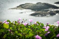 Ipomoeaen är blommande på stranden royaltyfri bild