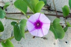 Ipomoeaen blommar eller getens blomman eller ipomoeaen pes-CA för fotranka Royaltyfri Bild