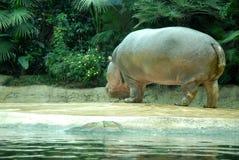 Ipopotamo a juste émergé de l'eau au zoo à Berlin en Allemagne Photographie stock libre de droits