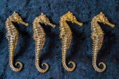 Ippocampi in una fila immagini stock libere da diritti