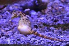 Ippocampo in acqua fotografie stock