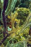 Ippocampo di Longsnout nel corallo Fotografia Stock