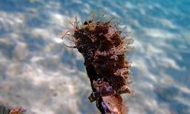 Ippocampo Mediterraneo - guttulatus dell'ippocampo immagini stock