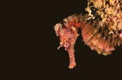 Ippocampo rosso Immagine Stock