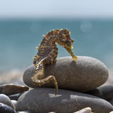 Ippocampo sulle rive del golfo Immagini Stock Libere da Diritti