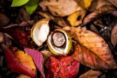 Ippocastani e Autumn Leaves, Oxford Regno Unito Immagini Stock