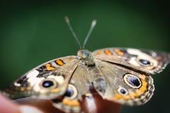 Ippocastano comune Junonia Coenia fotografia stock