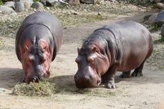 Ippopotami Fotografia Stock Libera da Diritti