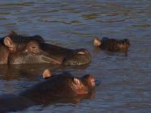 Ippopotami in acqua Immagini Stock