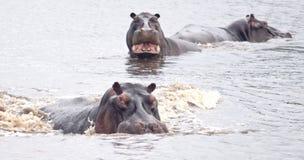 Ippopotami arrabbiati fotografie stock