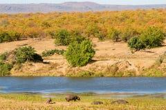 Ippopotami di periodo di siccità Fotografie Stock Libere da Diritti