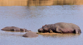 Ippopotami pigri Fotografia Stock
