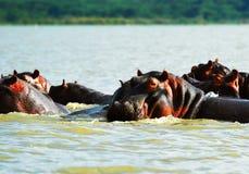 Ippopotamo africano Fotografie Stock Libere da Diritti