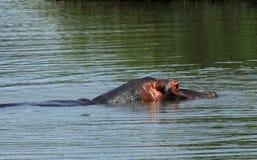 Ippopotamo al parco nazionale di Kruger Immagine Stock