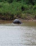 Ippopotamo al parco nazionale di Kruger Fotografia Stock Libera da Diritti