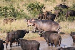 Ippopotamo che insegue la Buffalo di capo fotografia stock libera da diritti