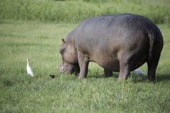 Ippopotamo che mangia erba con l'egretta e Oxpecker Immagini Stock