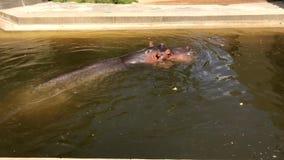 Ippopotamo che si rilassa in acqua stock footage