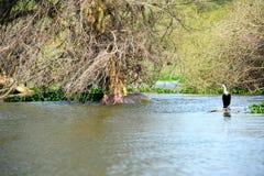 Ippopotamo con il cormorant, lago Naivasha immagine stock libera da diritti