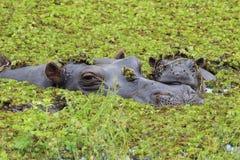 Ippopotamo del bambino e della madre nel delta di Okavango del Botswana Fotografia Stock