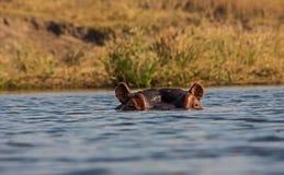 Ippopotamo dell'altezza d'occhio nel parco nazionale 1 di Kruger Immagine Stock