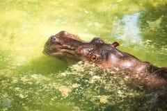 Ippopotamo di Brown nello zoo che si trova in acqua Immagini Stock Libere da Diritti