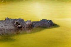 Ippopotamo di sonno nell'acqua Primo piano capo fotografie stock libere da diritti