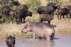 Ippopotamo e Buffalo di capo fotografie stock